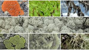 Time to vote for Canada's national lichen — the 'spectacular' organisms that carpet the country Social Sharing