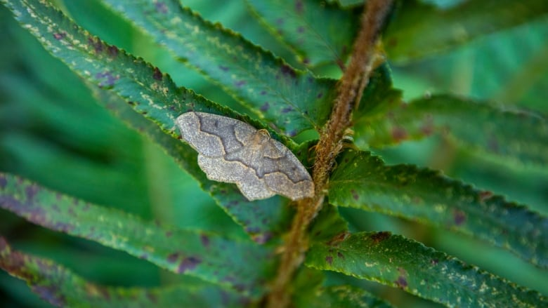 'Significant' looper moth outbreak threatens North Shore trees