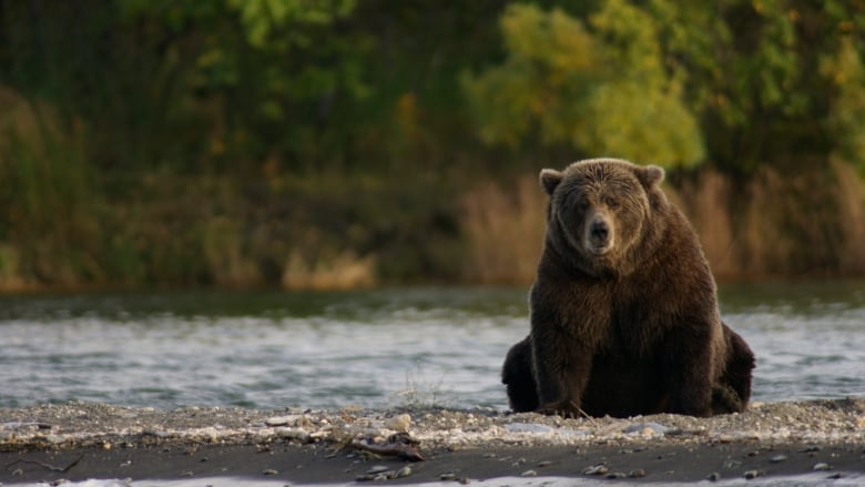 How Canada's grizzlies are faring during Fat Bear week