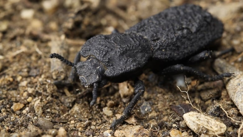 How this un-crushable beetle survives being run over by a car