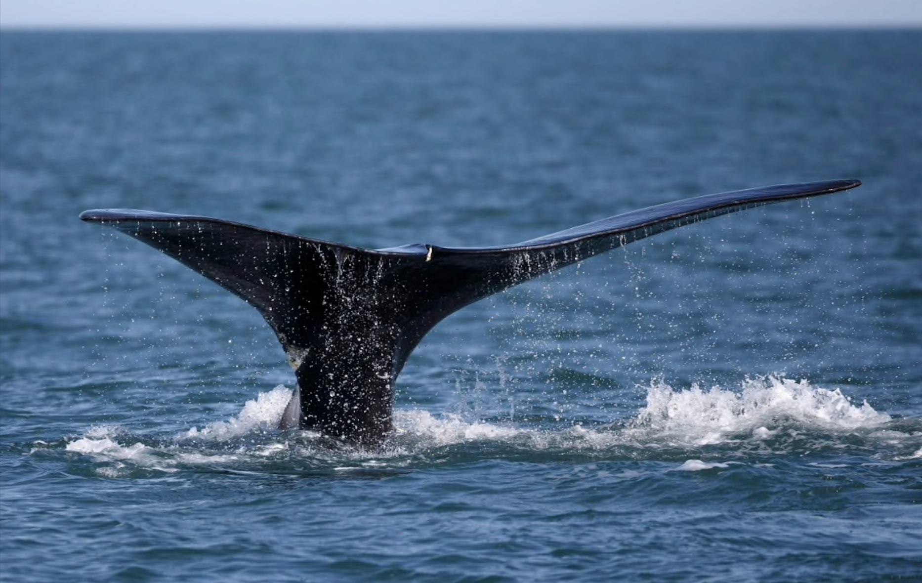 Canadian Space Agency using satellite data to track endangered right whales