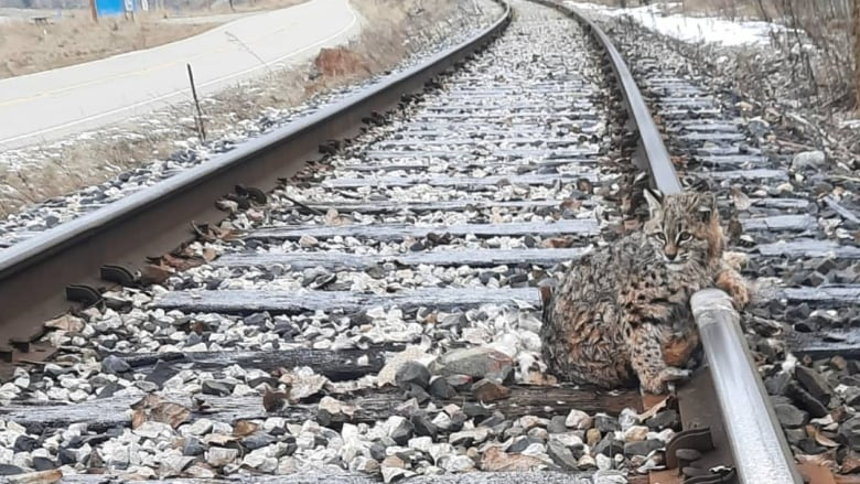 This bobcat was frozen to train tracks in B.C. It was rescued 30 minutes before a train sped by