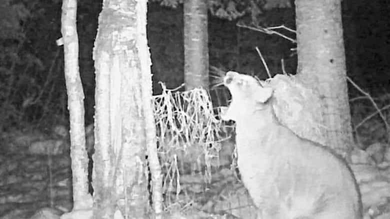 Cougar appears on trail camera northwest of Thunder Bay, Ont.