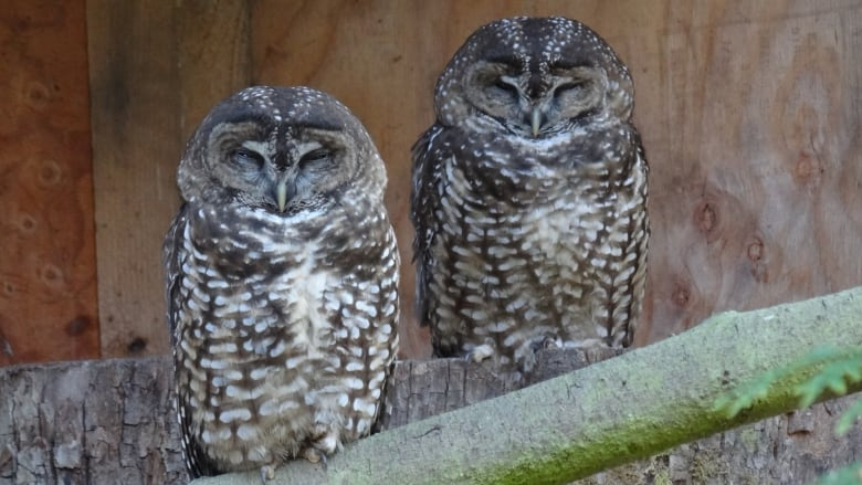 Delay in logging old-growth area helps endangered spotted owls in southern B.C. — for now
