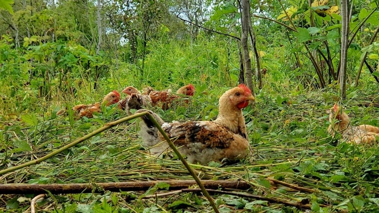 Tree-range chickens: How raising poultry in the woods of B.C. could improve food security for some communities