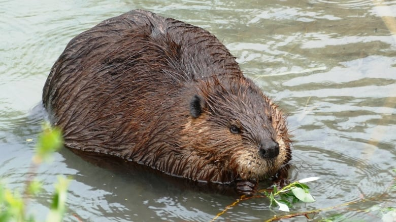 Hundreds lose internet service in northern B.C. after beaver chews through cable