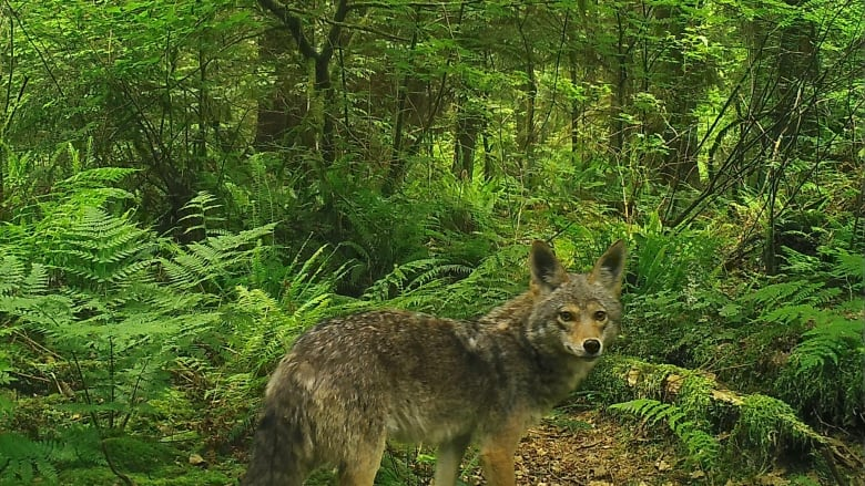 Yet another coyote attack reported in Vancouver's Stanley Park